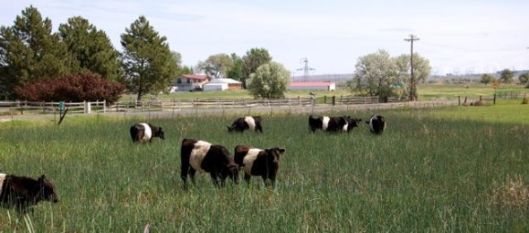 Home of the Oreo Cows!