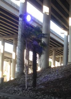 Stay palm, it's just a tree growing under I-5, Seattle.